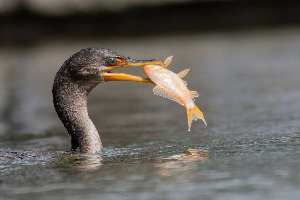 Canadian Fish-Eating Birds are Contaminated with Pollutants